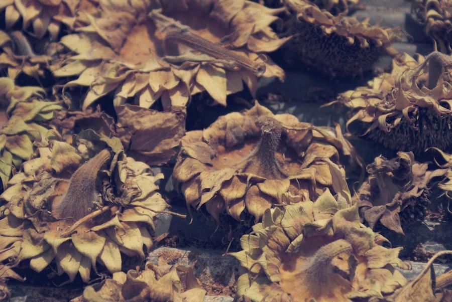 Dried Sunflowers Kanchanaburi