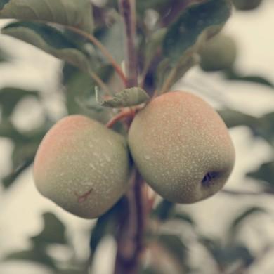Apples Australia